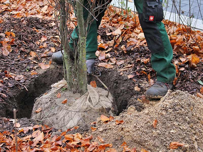Meykopff GaLaBau Lübeck - Baum mit Ballen