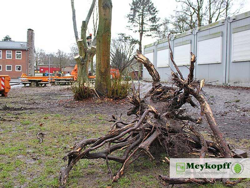 Meykopff GaLaBau Lübeck Baumfällarbeiten Baumwurzel