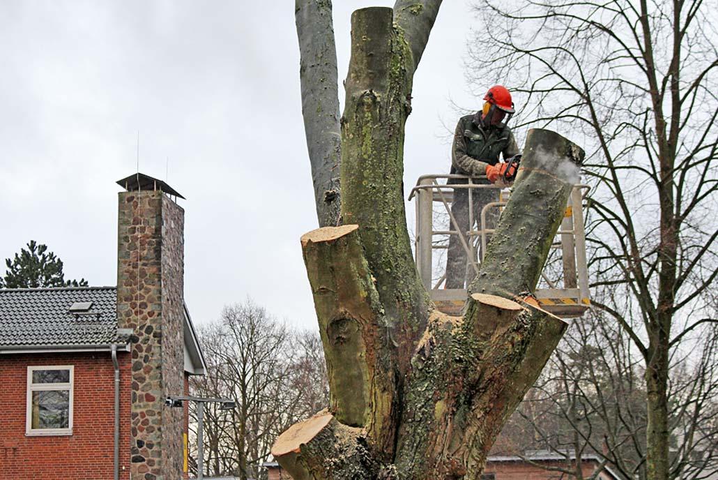 Meykopff GaLaBau Lübeck Baumfällarbeiten Ahorn