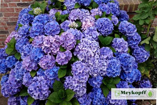Meykopff Hortensien auf Föhr Foto: Luisa Kniep