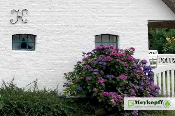 Meykopff Hortensien vor Bauernhaus
