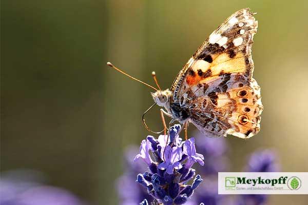 Lavendel mit Schmetterling