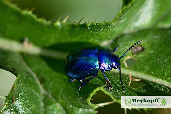 Meykopff Insektenschutz Blauer Käfer