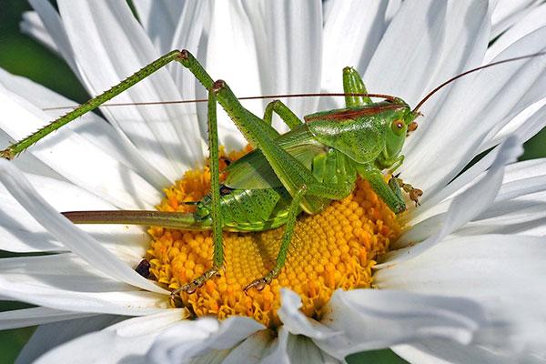 Meykopff Insektenschutz Heupferd
