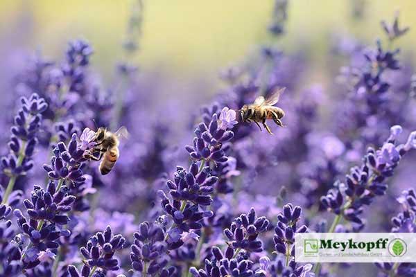 Meykopff Insektenschutz Lavendel