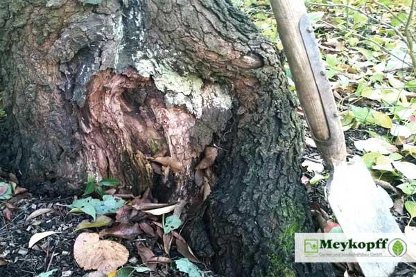Meykopff Baumschnitt Baumpflege Lübeck Baumschaden