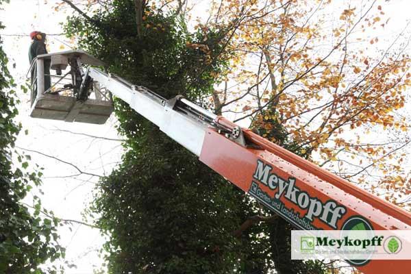 Meykopff Baumschnitt Baumpflege Lübeck Steiger